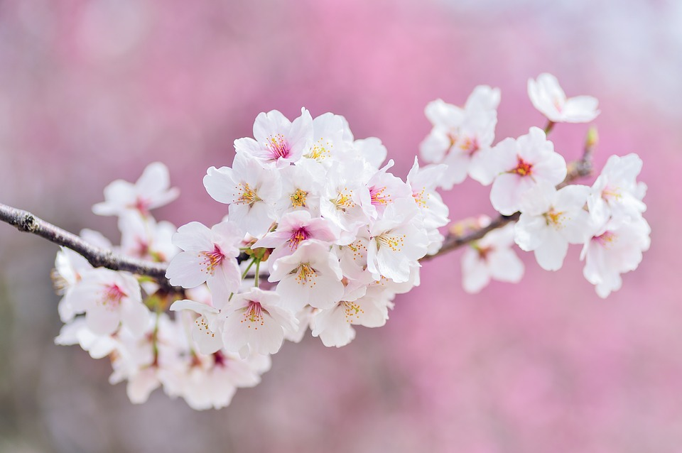 cherry-blossoms-2218781_960_720.jpg