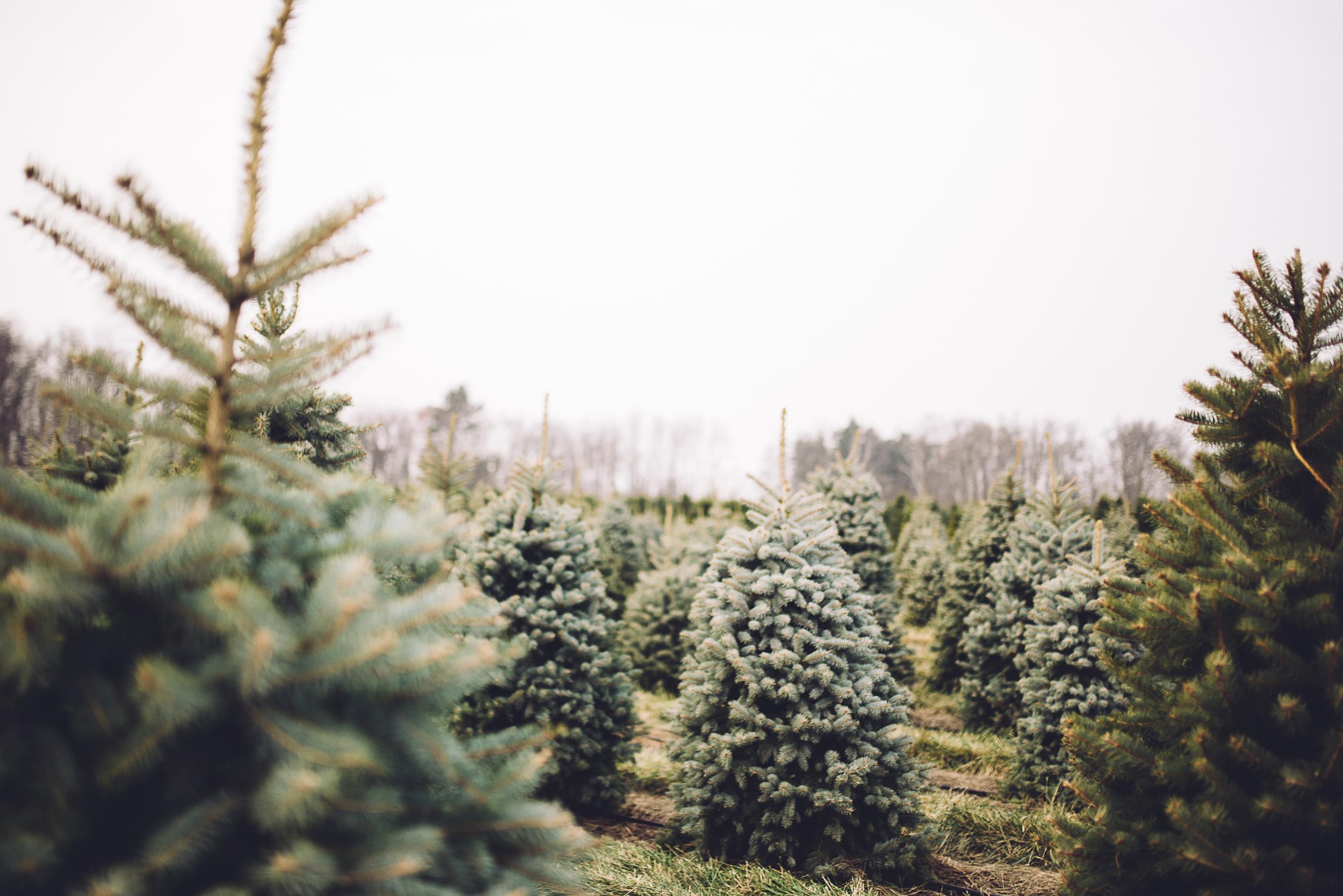 christmas-tree-cutting-2.jpg