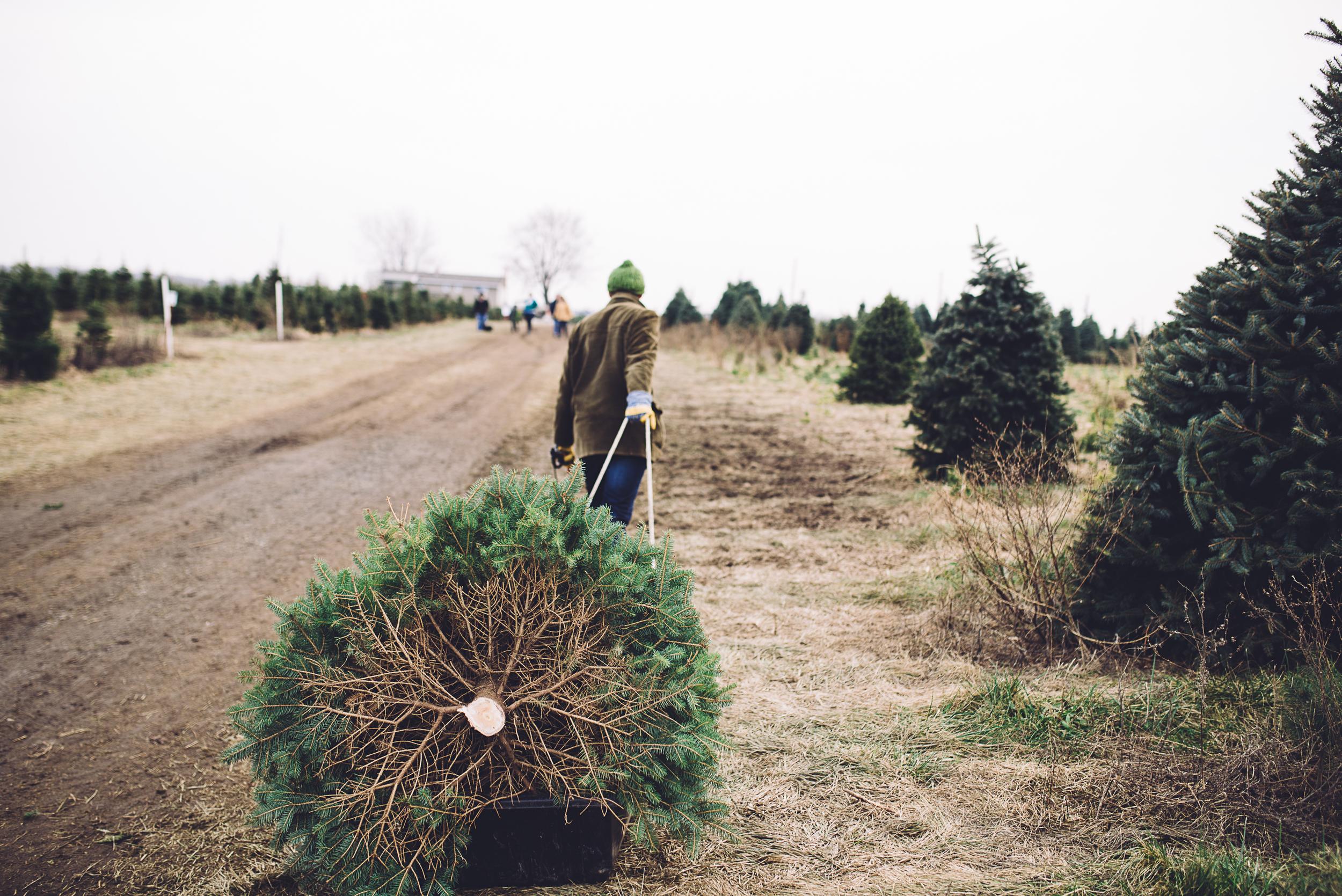 christmas-tree-cutting-11.jpg