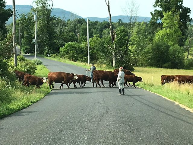 Always happy to wait for the herd to moooooove across the road to fresh pastures.  The Nobles of Moveable Beast Farm.