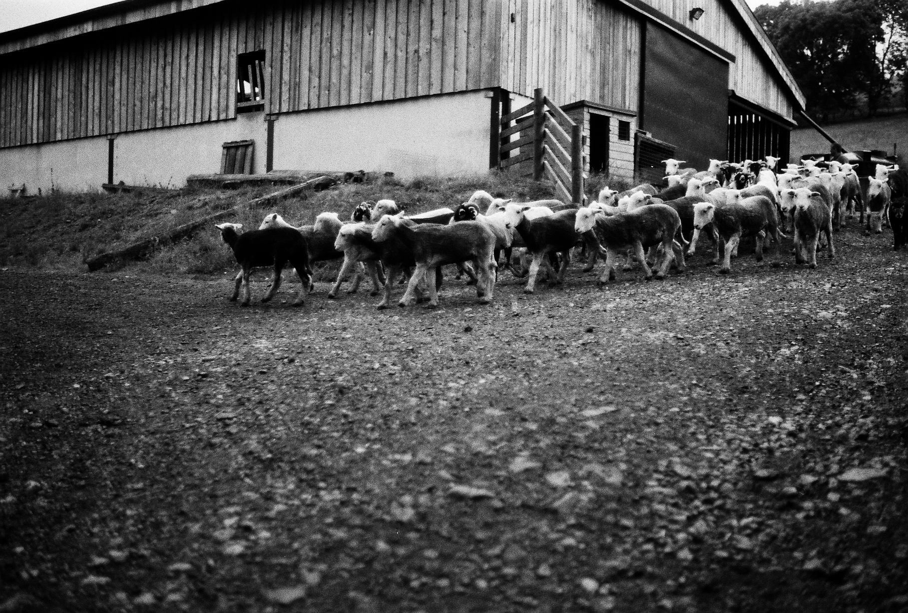 Once all sheep in the barn are clipped, they are released into the fields, before the next group are brought in and the process repeats.
