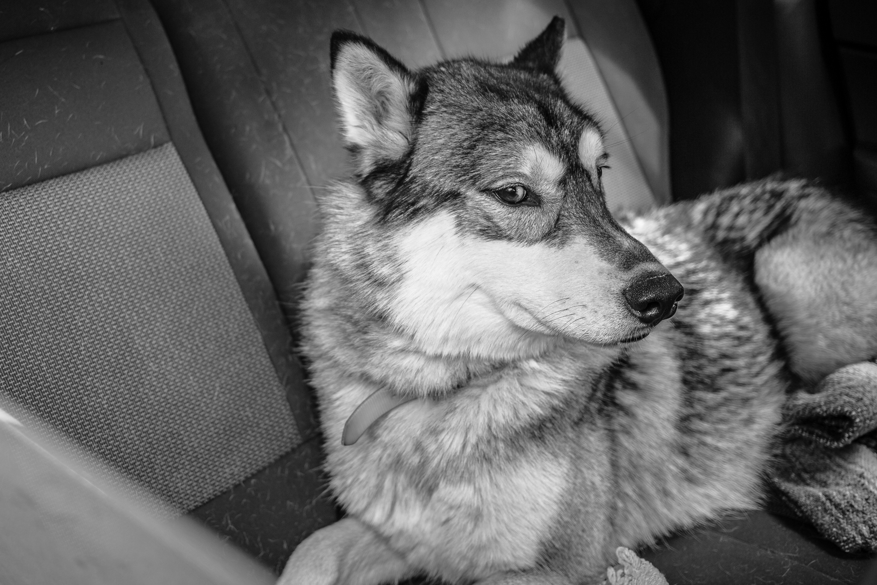 """I took a look in the back seat and said to the owner in the front, """"That's a hybrid, isn't it?"""" She smiled and said, """"Yup."""" I know enough about dogs - and wolves - to know it would not have ended well if my camera went any further into the car."""