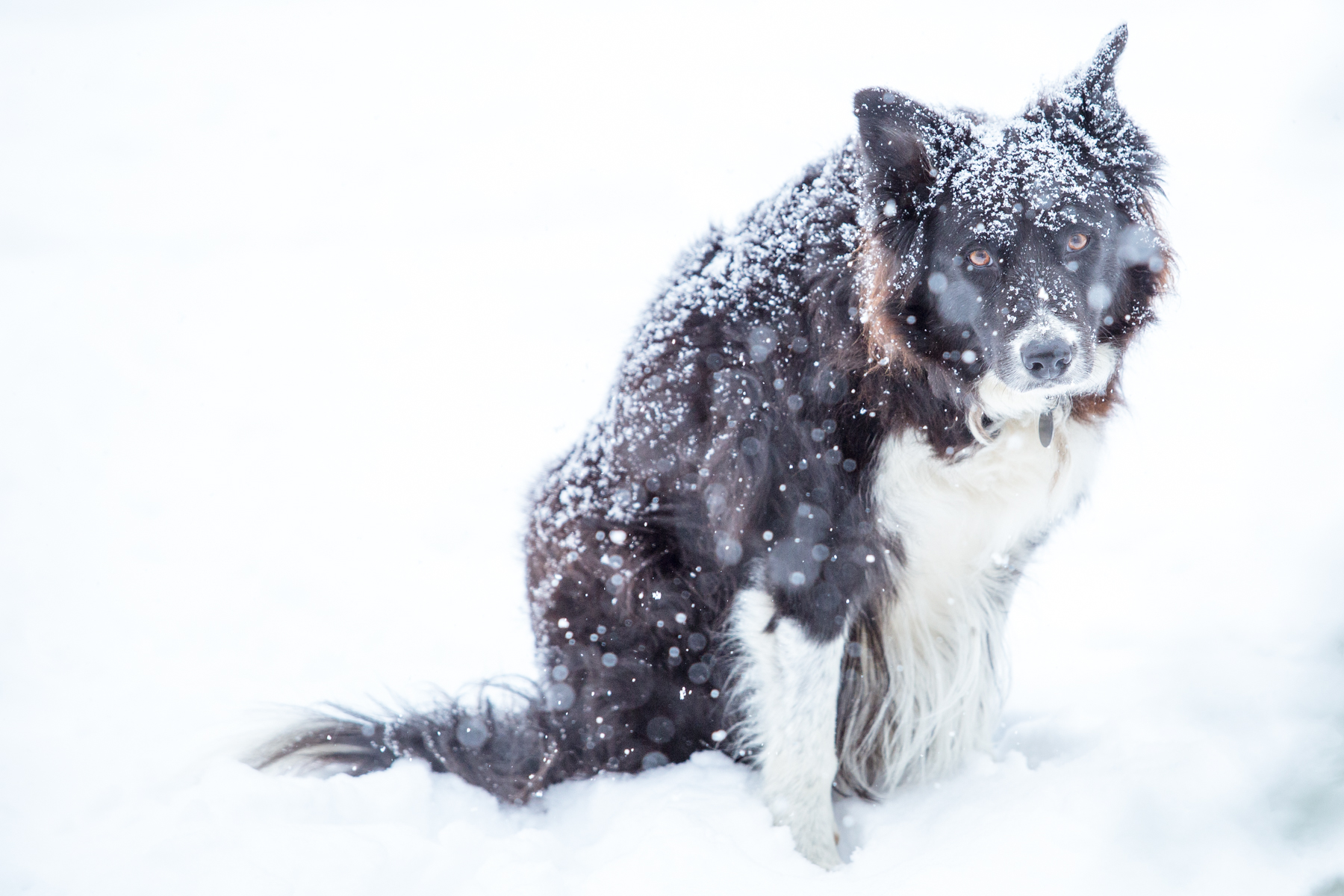 """Do not let him fool you - my neighbor's Border Collie, Gus, is a tough cookie who has shelter but prefers to stay outside in all types of weather. Speaking of cookies, that is his """"Mrs. Richer, can I get a cookie, please?"""" look - and yes, I give him treats."""