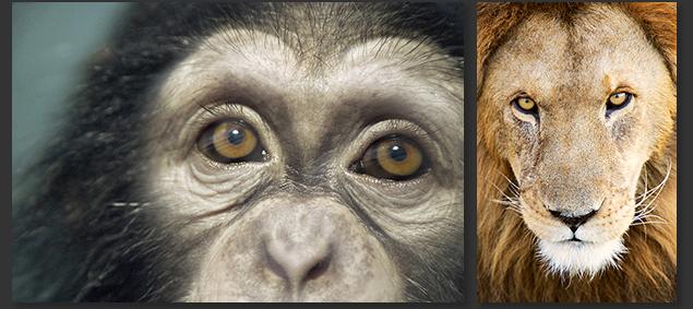 Chimpanzee (baby Kodua) shot in Lorne's backyard - Los Angeles Lion (name unknown) shot in God's backyard - Serengeti, Africa ©Lorne Resnick/2004