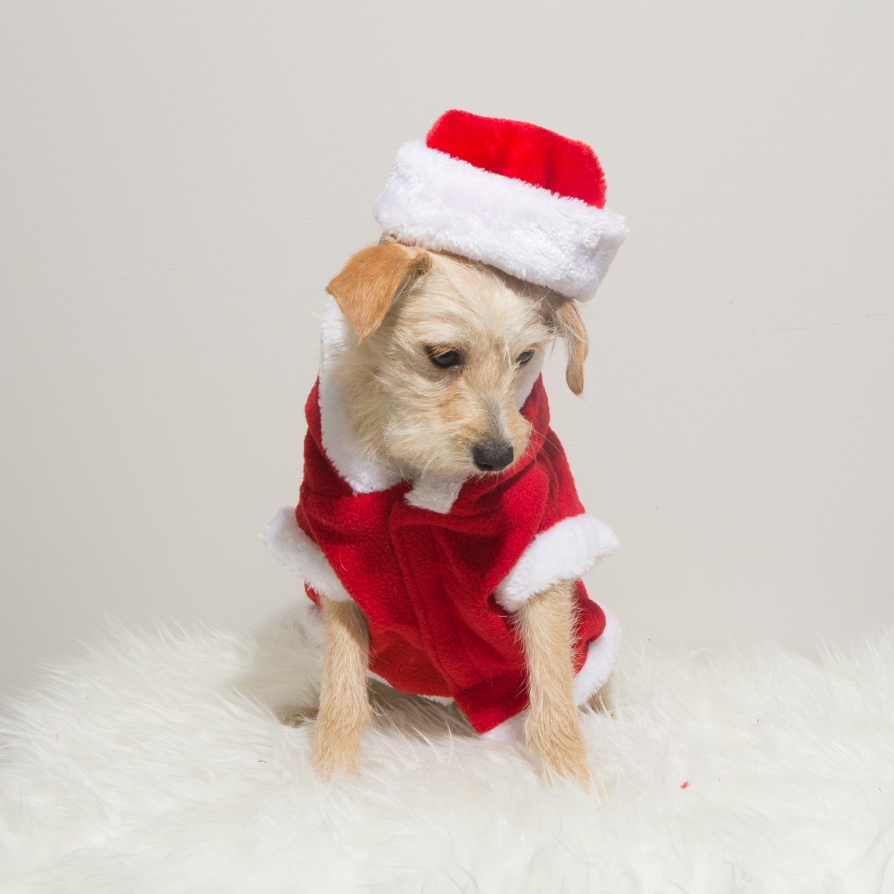 Bolandia Blogger Vancouver - Dog Christmas Costumes-9488