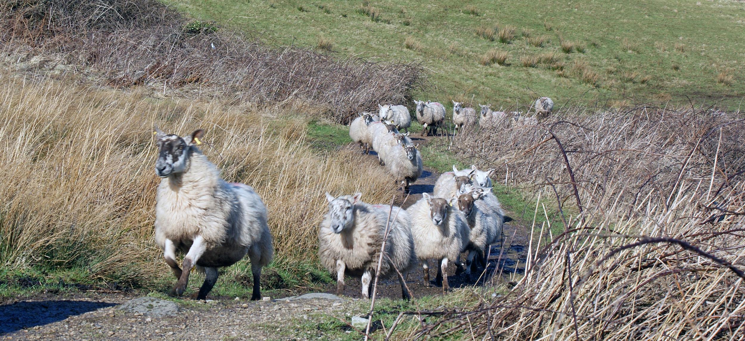 Kildonan Sheep.jpg