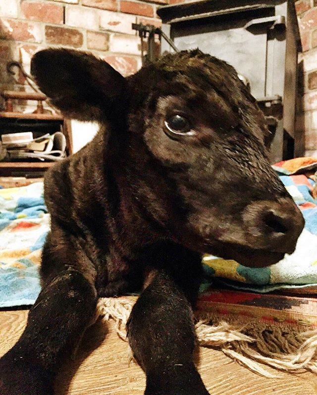 The little girl is holding her own and drinking a lot more than we expected - she tries to get her feet under her but they just aren't strong enough yet. We'll see how she does overnight but she seems to have some fight in her. 🐃👊🏼 #m5babies #fivemarysvethospital #littlebabycalf