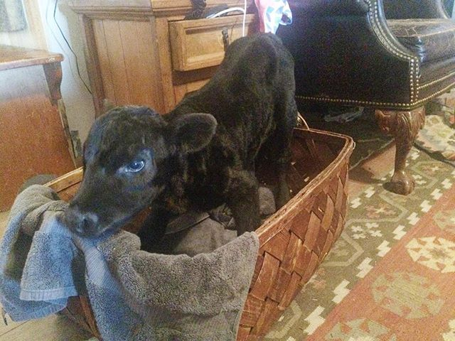 She's on four legs! She'll only do it in the basket though, I think it helps her brace herself up. But progress! 👍🏼🐃🏥