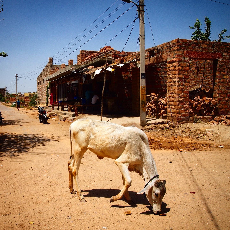 street cow..