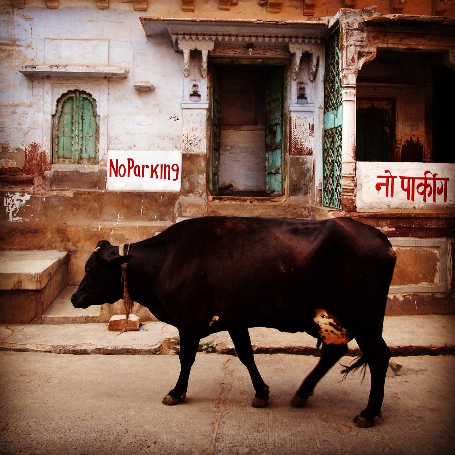 Jodhpur street cow!