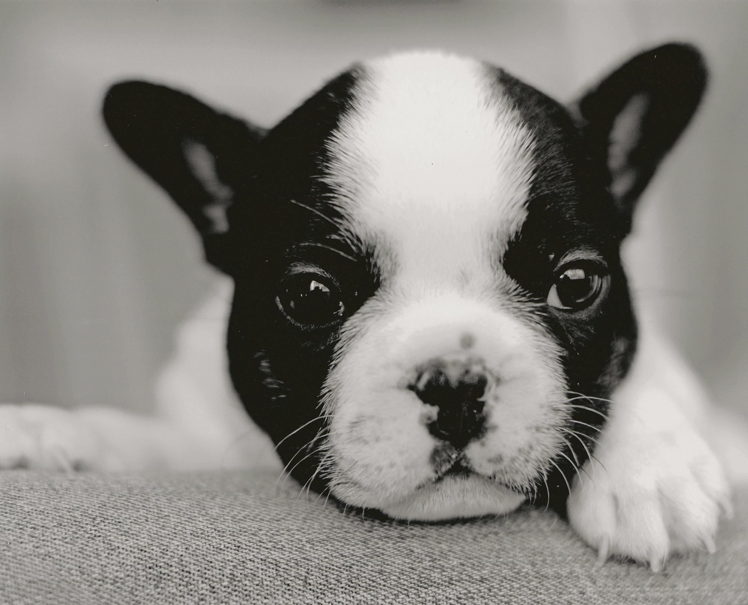 Southern Florida French Bulldog Puppies