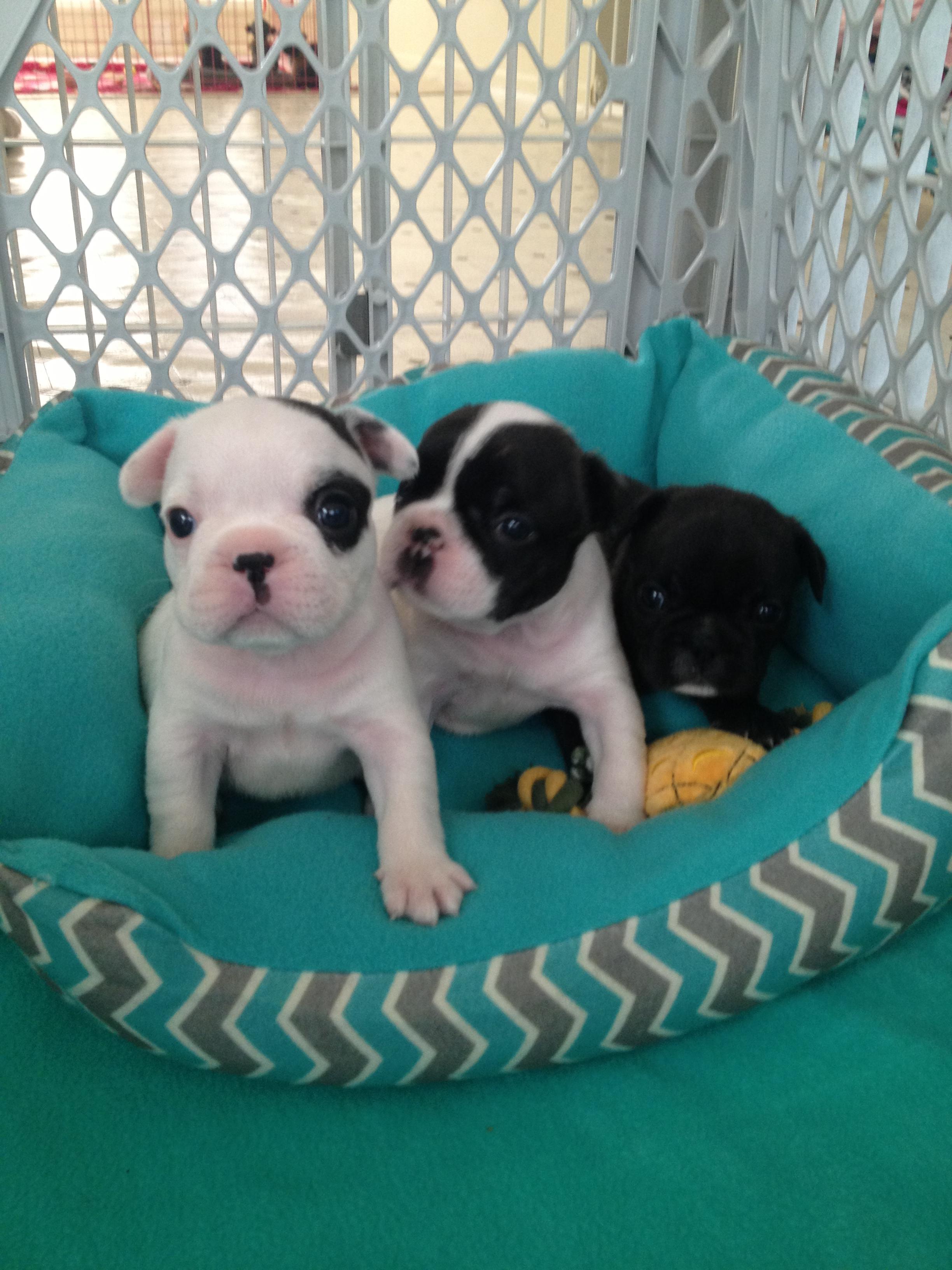 Puppies JEM