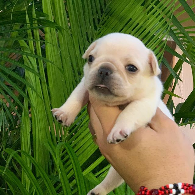 Cream female looking for her forever home! #frenchies #florida #frenchbulldogbreeder
