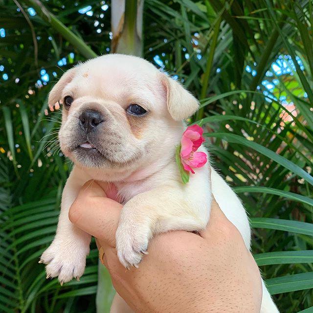 Available girls- ready mid-November #florida #frenchies #toocute #floridafrenchbulldogbreeder