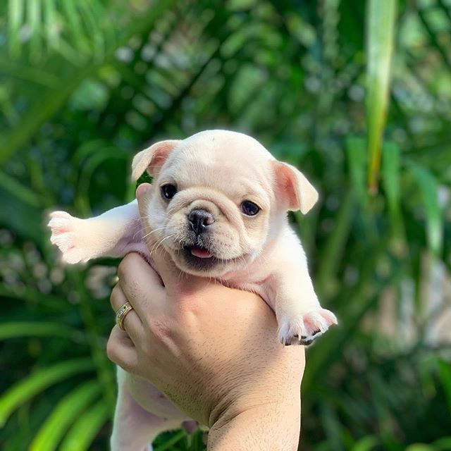 Females available - looking for a forever home mid- November #frenchies #frenchbulldogbreeder #toocute
