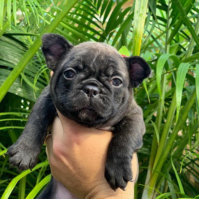Brindle female available #floridafrenchbulldogbreeder #brindle #toocute #puppy #love