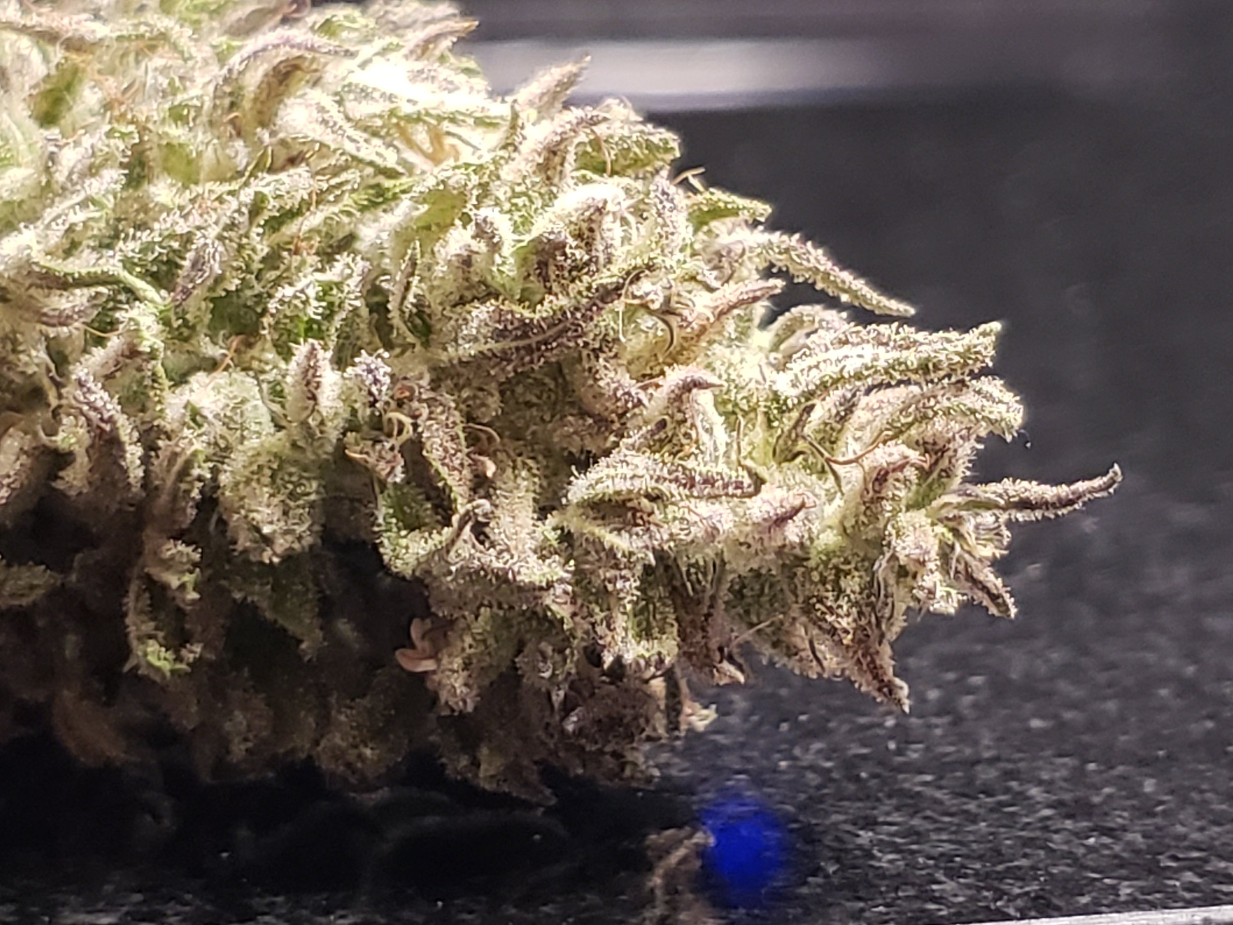 This sample was grown outdoors without irrigation around a mile of elevation. Indoor plants exhibited similar traits, but the outdoor plants were favorable and more complete in terpene and resin content.