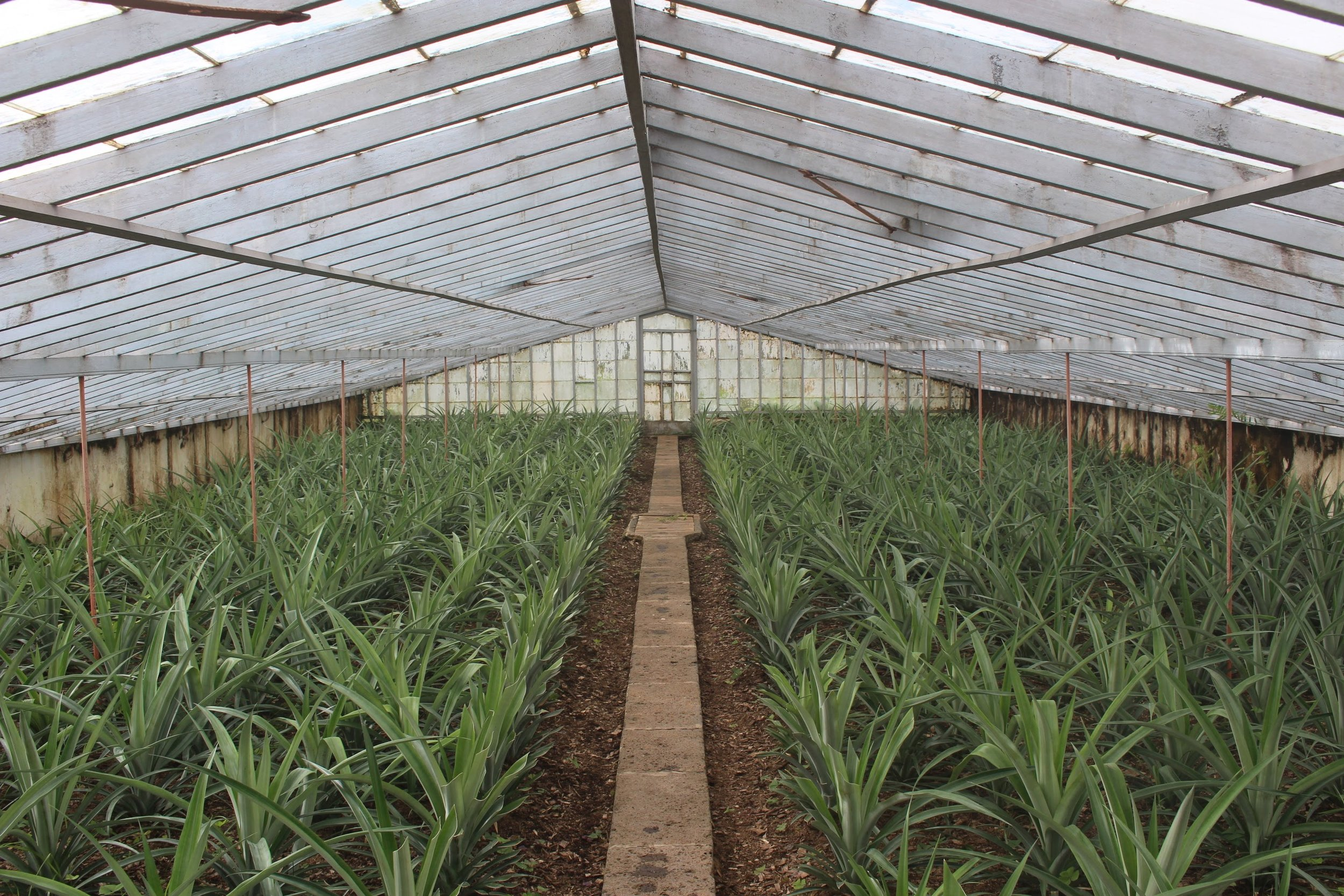 Before we left Sao Miguel, we wanted to visit the  Arruda pineapple plantation . Did you know on average the complete cycle of the pineapple crop lasts 18 months? Don't ever waste pineapple!