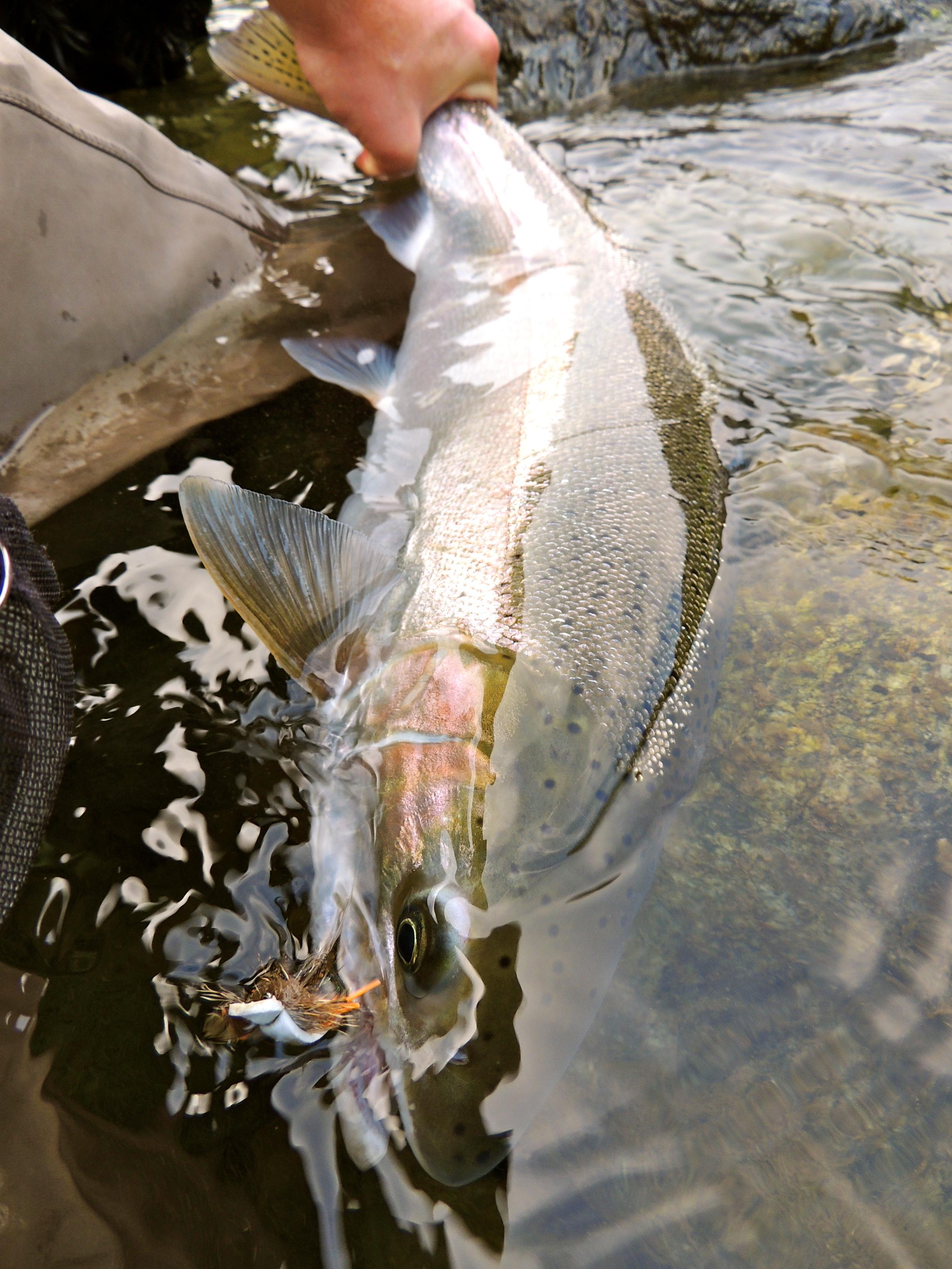 Bright, late Umpqua fish