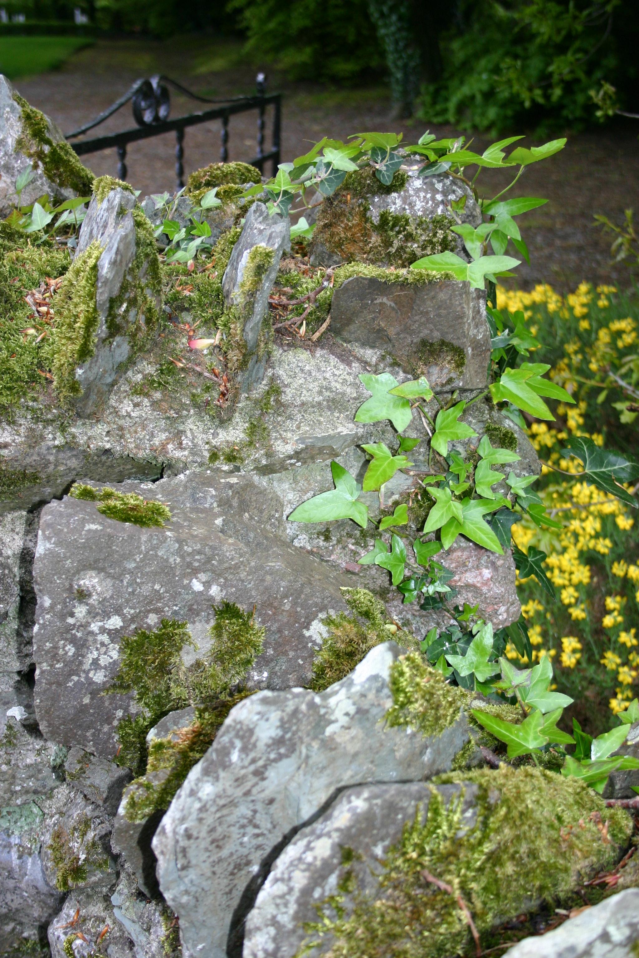 rock ivy.jpg