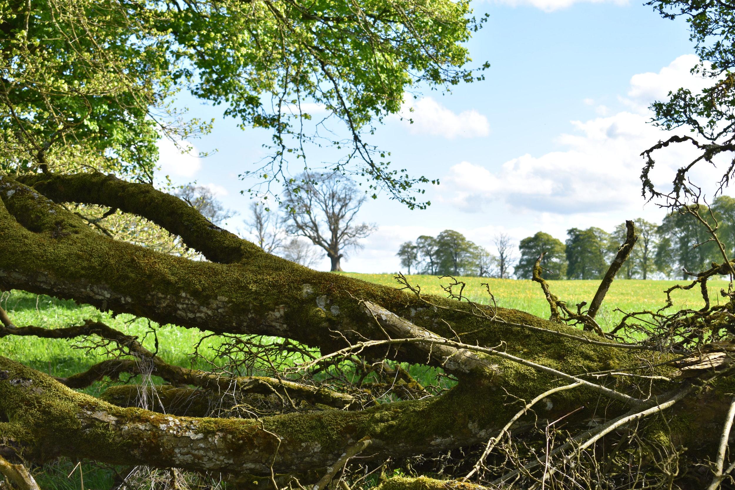 Fallen tree.jpg