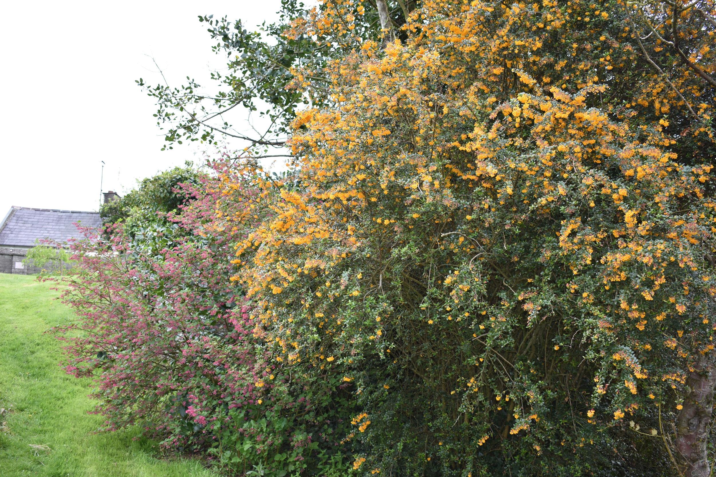 Bushes in bloom.jpg