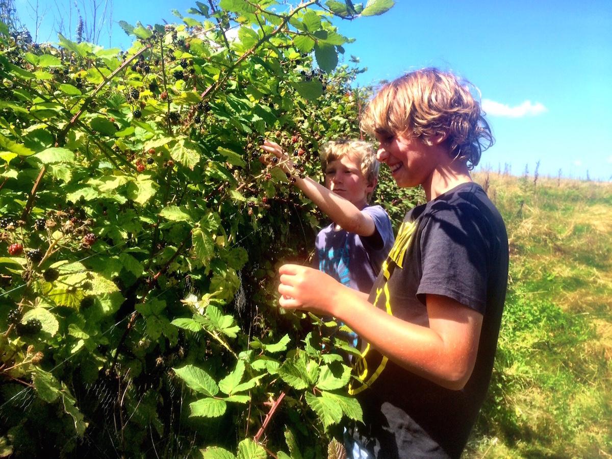picking (and grazing on!)fresh blackberries for dessert