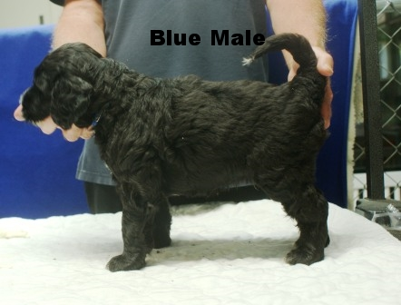 Blue Male