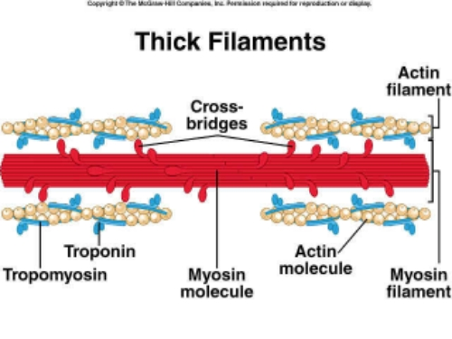 "The ""Actin-Myosin Cross Bridge"" is one theory on how muscle fiber is recruited or contracted.  When a muscle is activated these fibers theoretically slide over one another forming a bond in order to release energy/potential within a motor unit."