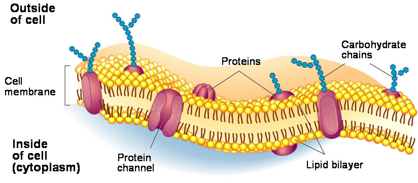 The ability for a cell to interact with it's environment is crucial for health. This picture depicts bi-layer of a typical cell membrane. We rely on the normal functioning of cells to create energy for our bodies.