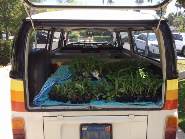 garden - VW harvest 2.JPG