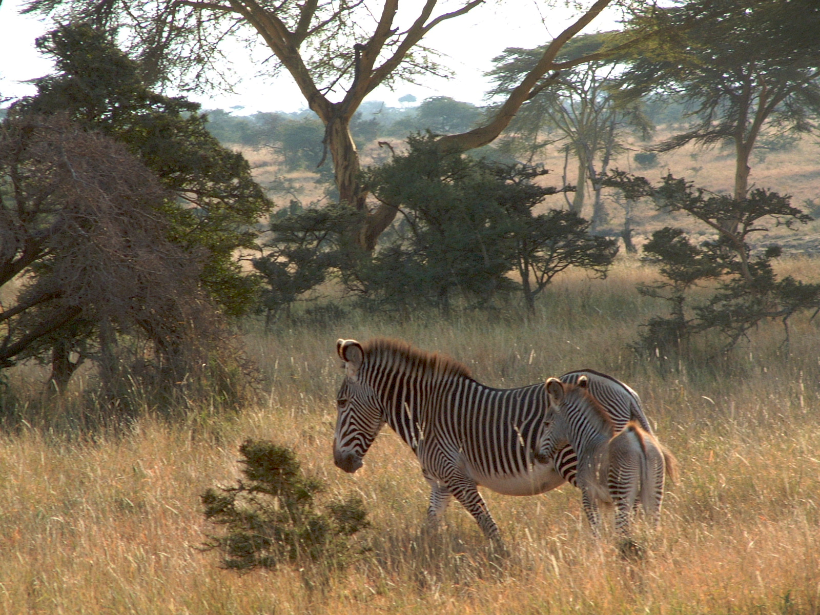 Grevy mare and foal.jpg