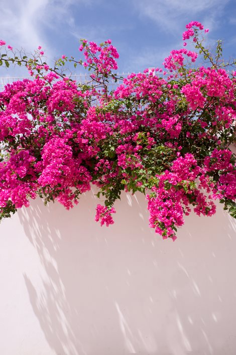 flowering-bougainvillea-white-wall-shutterstock-com_12529.jpg