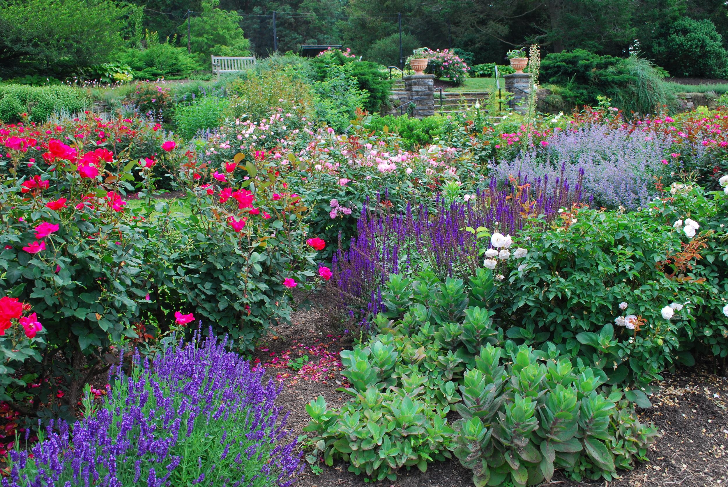 Morris Arboretum Rose Garden_2910.JPG