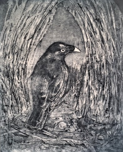 Satin Bower-Bird_Etching_Robyn Culley.JPG