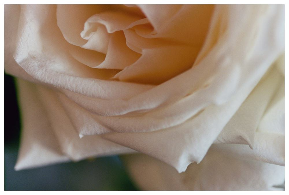 Close up of a pale pink rose.