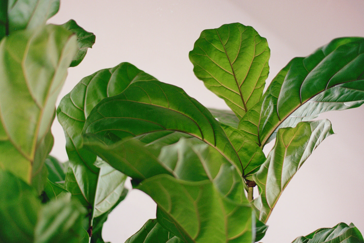 Fig leaf plant at Blush and Bloom in Toronto.