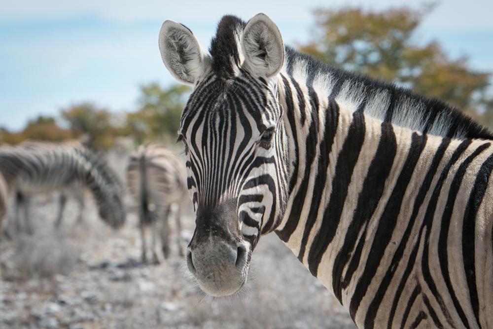 D Zebra Namibia Penny Riddoch.jpg