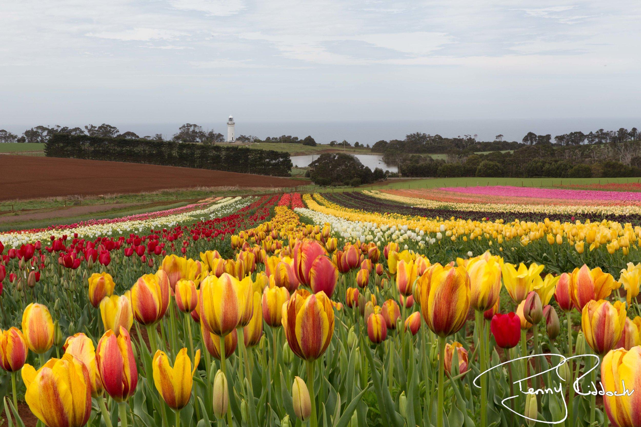 Penny Riddoch Photography Tulips Wynyard -1.jpg