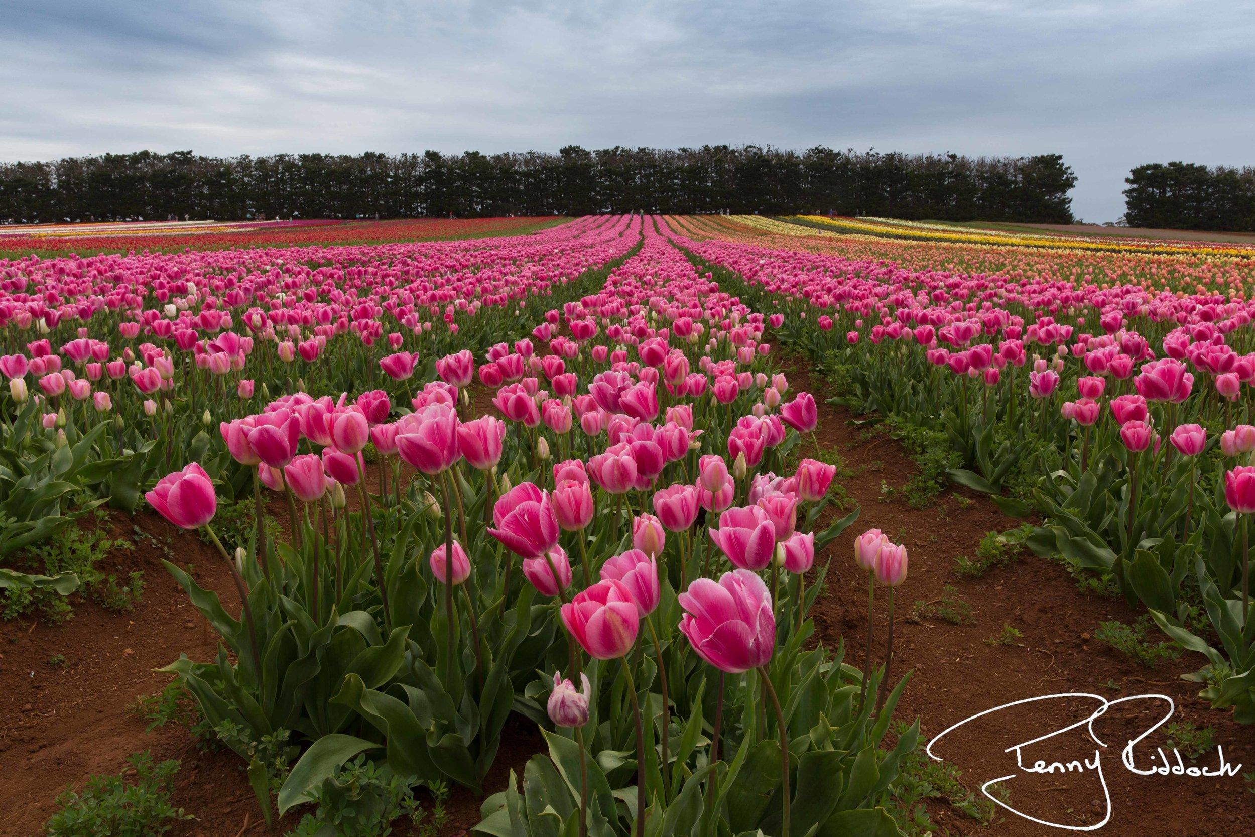 Penny Riddoch Photography Tulips Wynyard -4.jpg