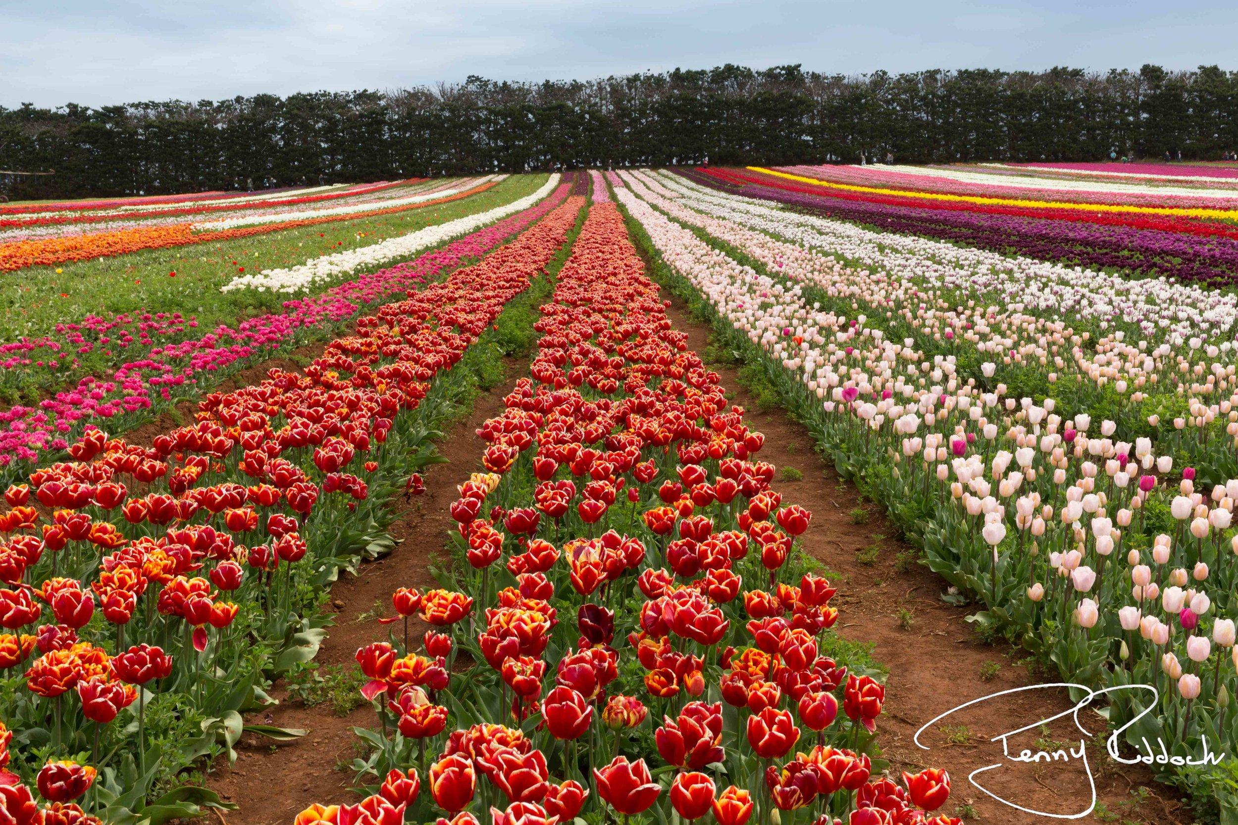 Penny Riddoch Photography Tulips Wynyard -6.jpg