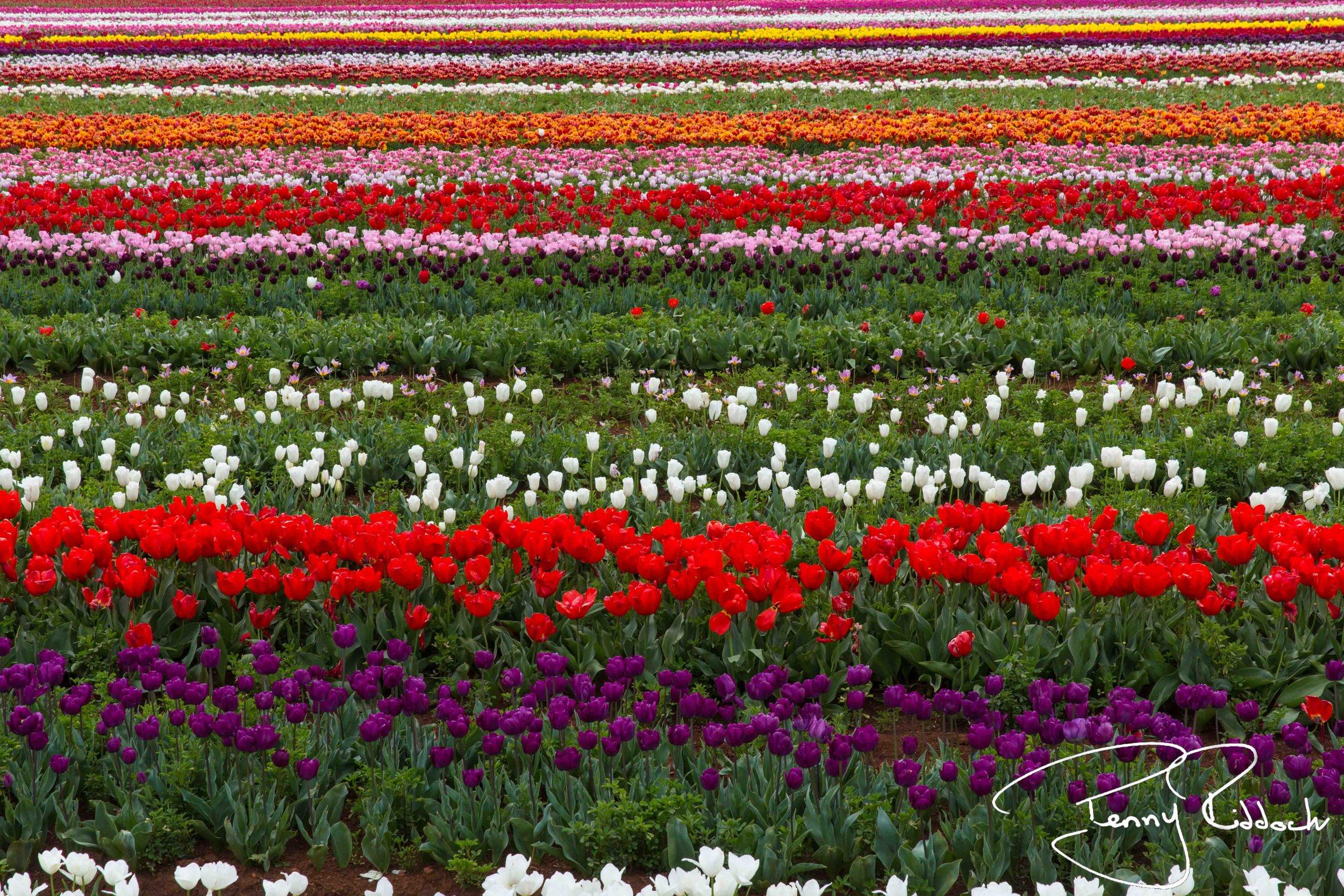 Penny Riddoch Photography Tulips Wynyard -8.jpg