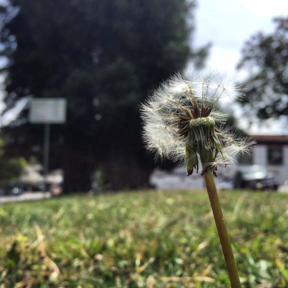 This is a picture ofthe actual dandelion from my story...