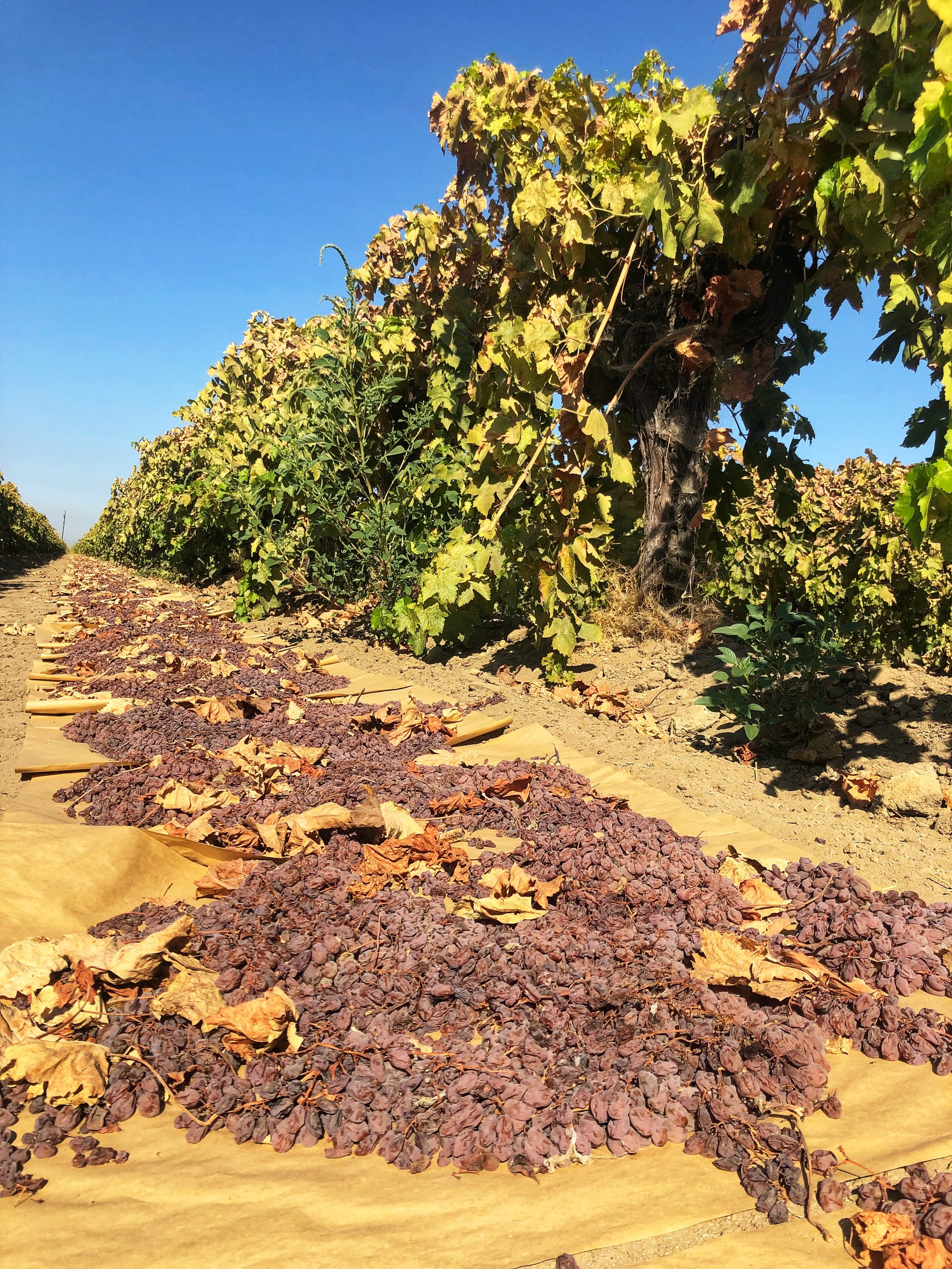Where our food comes from: grapes have been hand picked to lay on paper trays and dry in the sun. www.ChefShayna.com