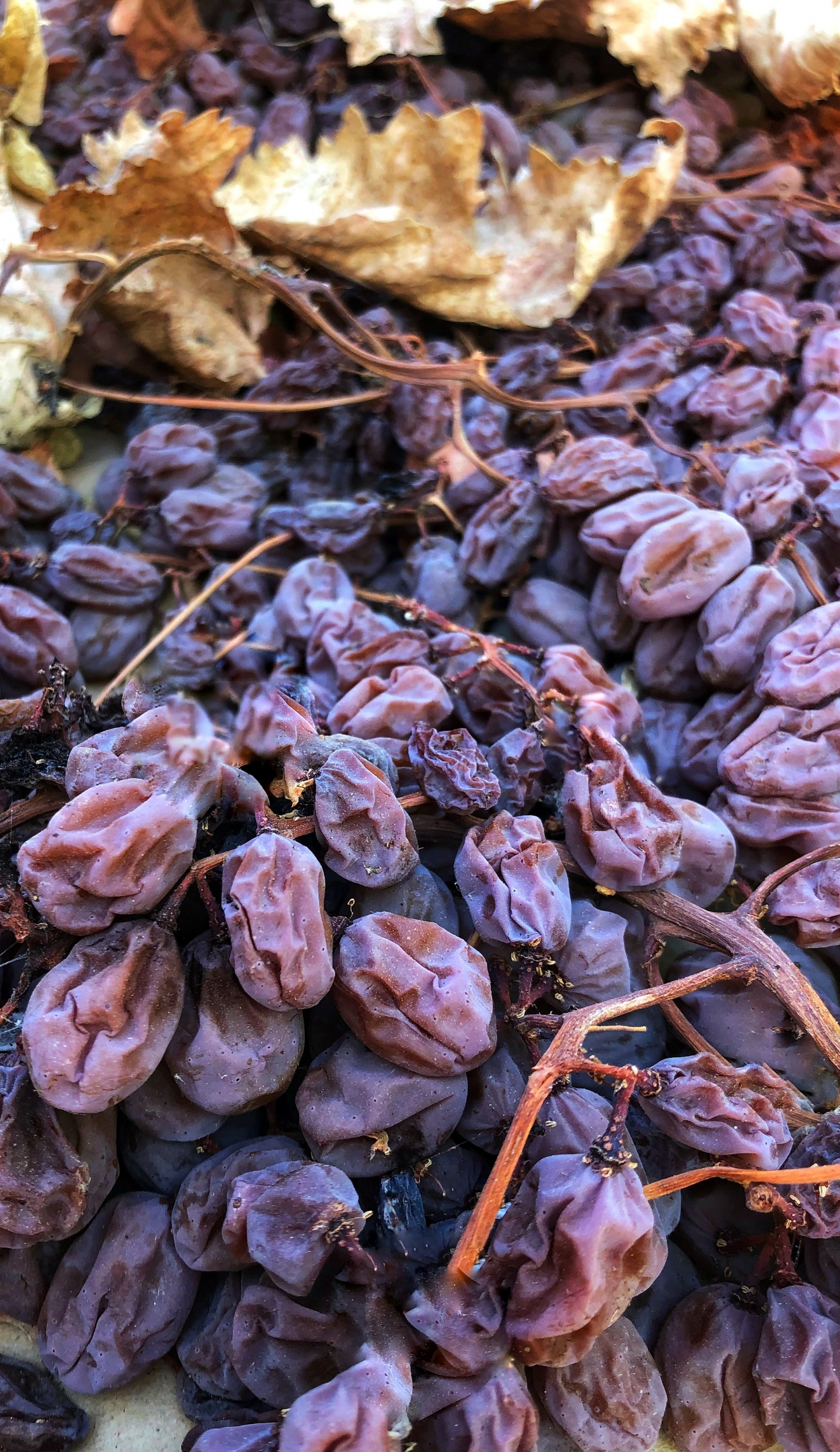 Grapes drying in the sun to make raisins. www.ChefShayna.com