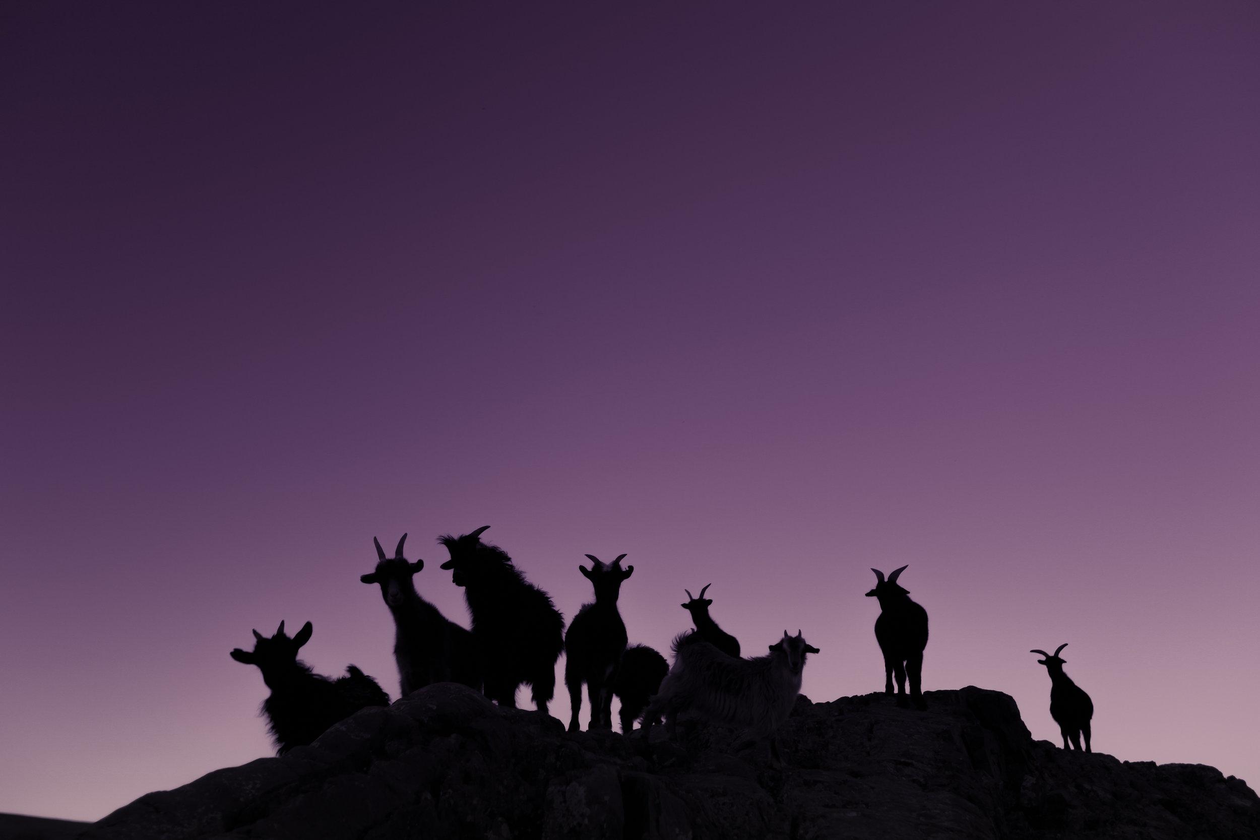 Mongolia - Goats.jpg