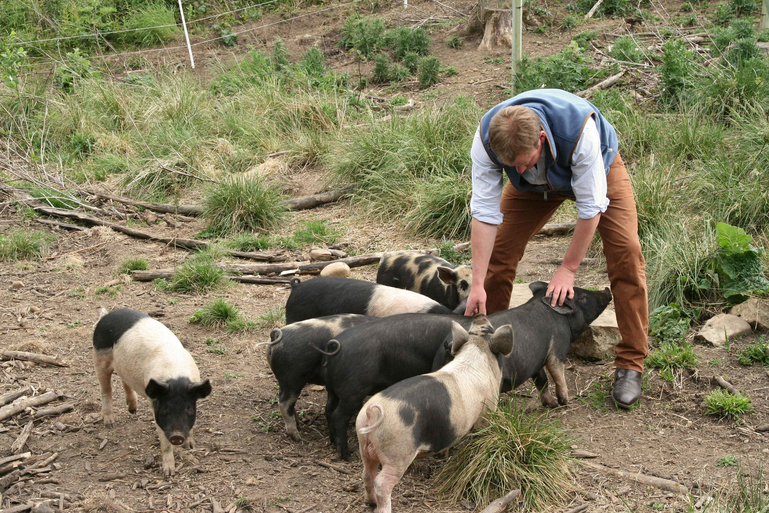 Charles and his pigs. Note the ground – almost completely cleared.