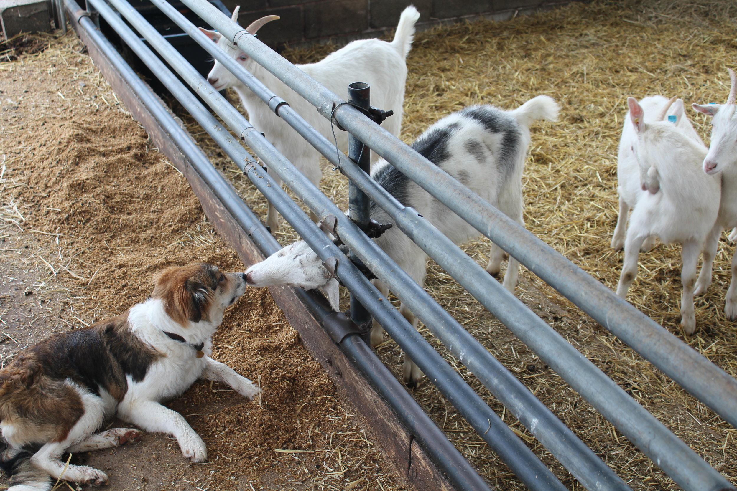 Herding dog in 'training'