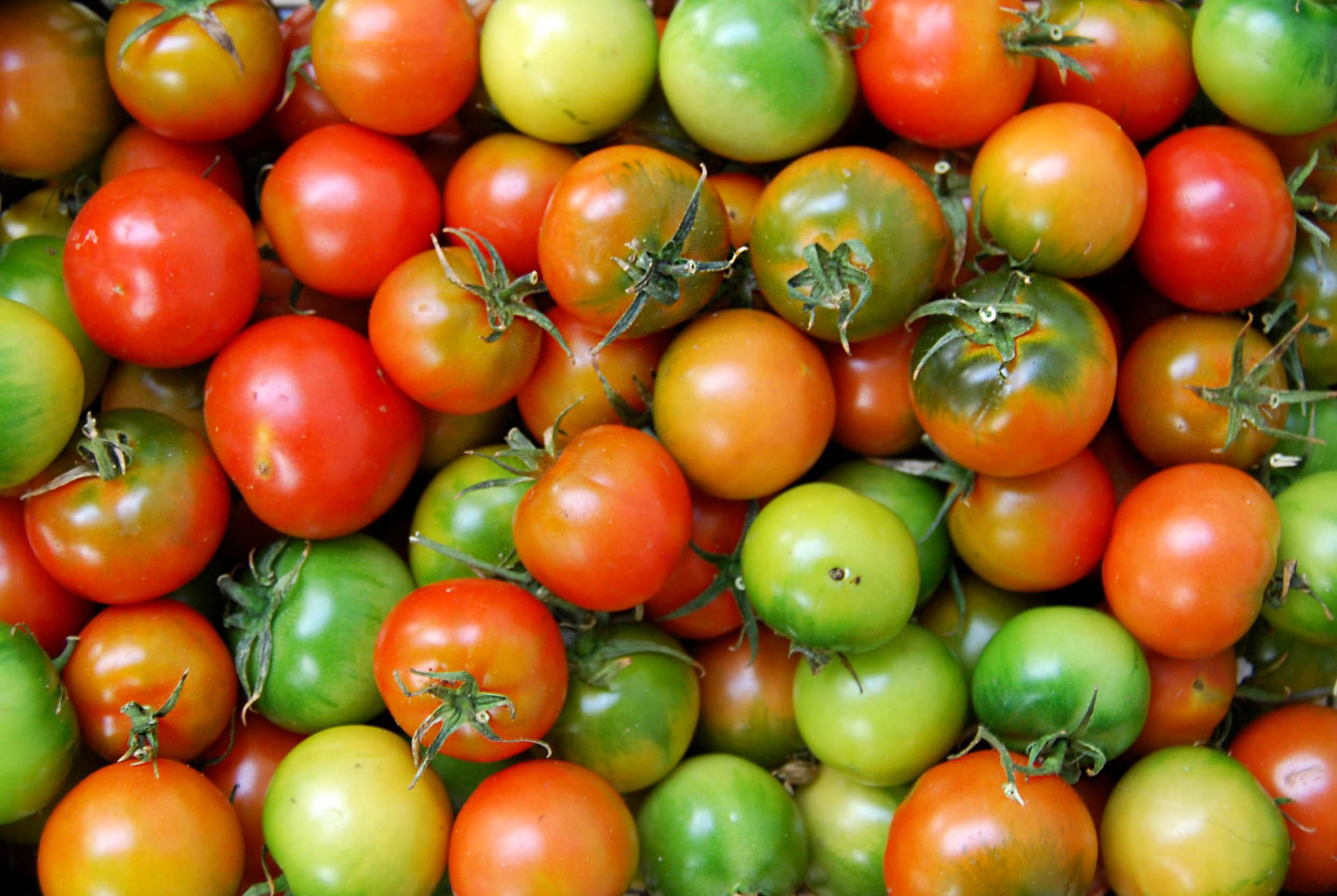 tomatoes - camone web.jpg