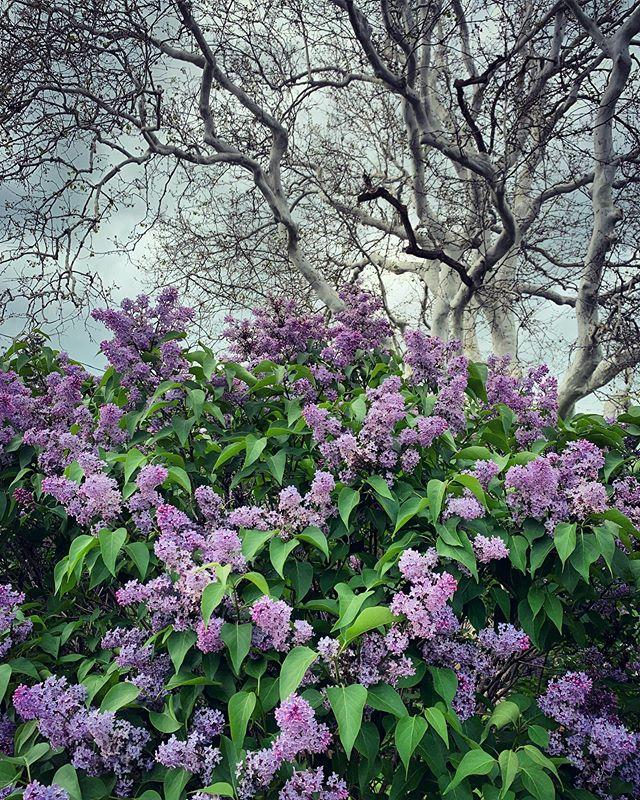 Sucker for lilac season • • • • #lilacs #lilacseason #vermont #spring #memorialdayweekend #springintosummer #floral #floralphotography #lakechamplain